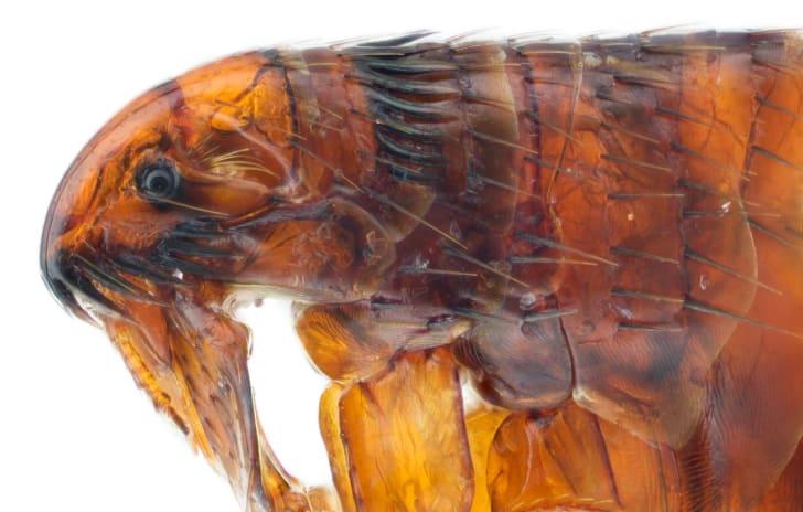 A cat flea