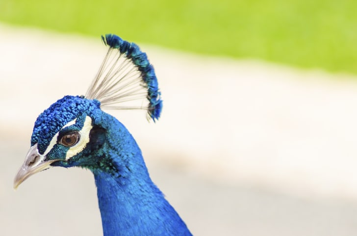 Peacock Crest