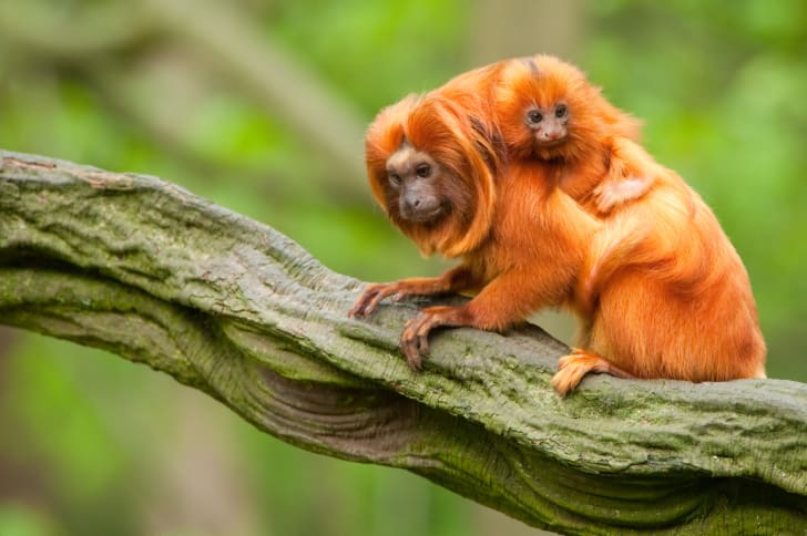 two tamarins
