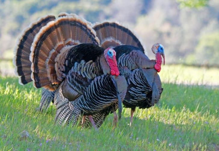 two male wild turkeys