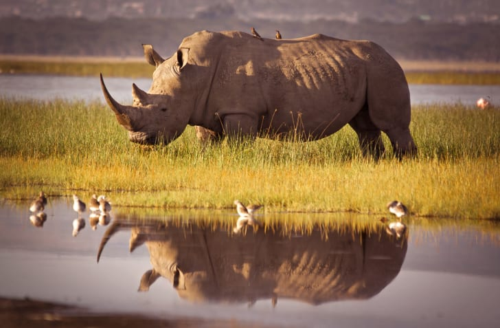 rhino with birds