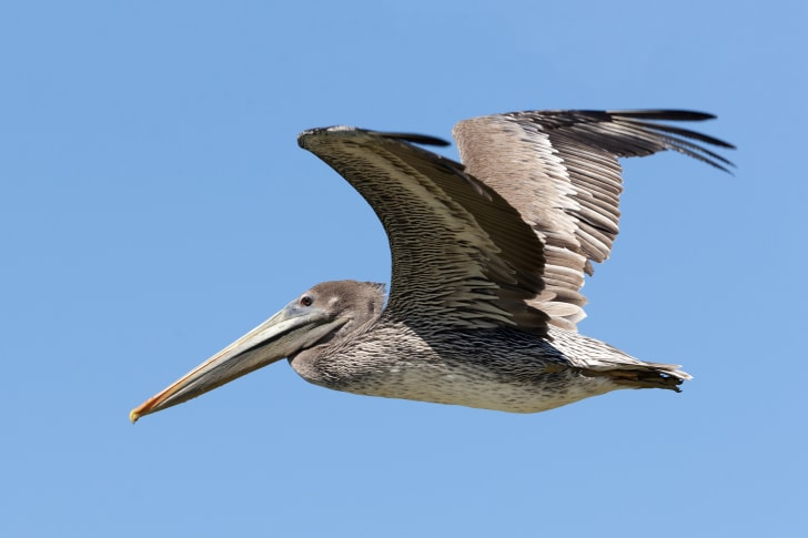 a flying brown pelican