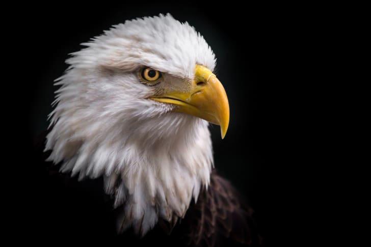 close-up of a bald eagle