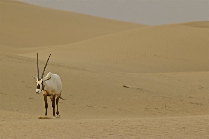an arabian oryx in the desert
