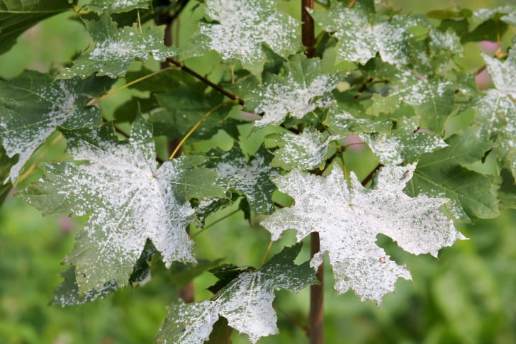 Leaves covered in white powder