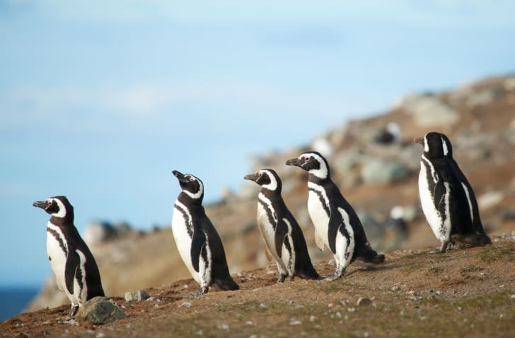 A group of magellanic penguins on the seacoast