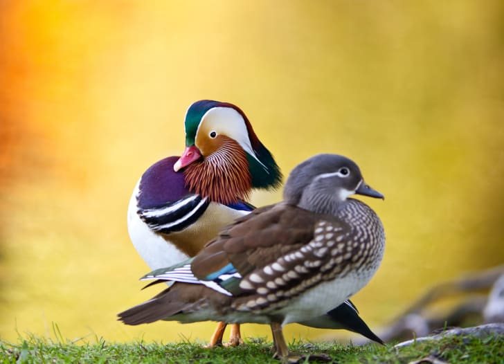 A male and a female mandarin duck sitting on a rock.