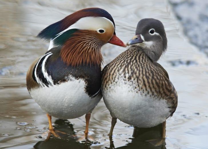 A male and female mandarin duck touching beaks.
