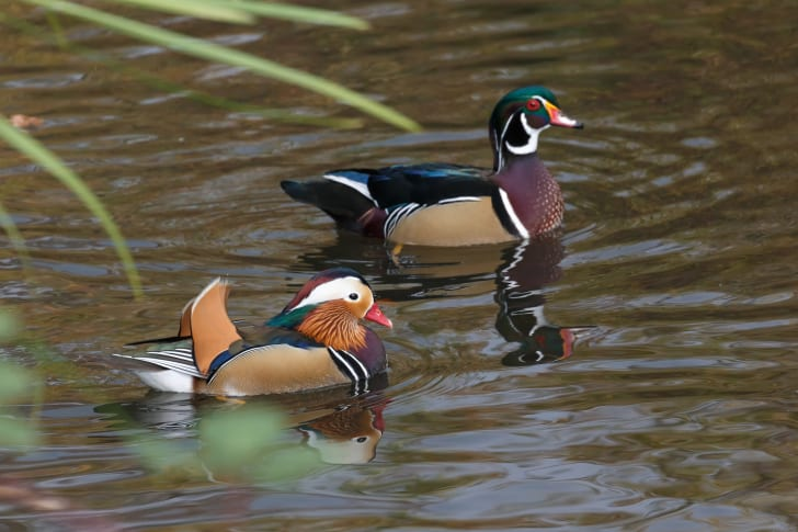 A male mandarin duck and a male American wood duck.