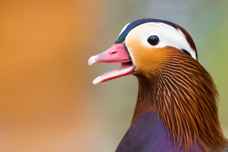 A male mandarin duck with its beak open.