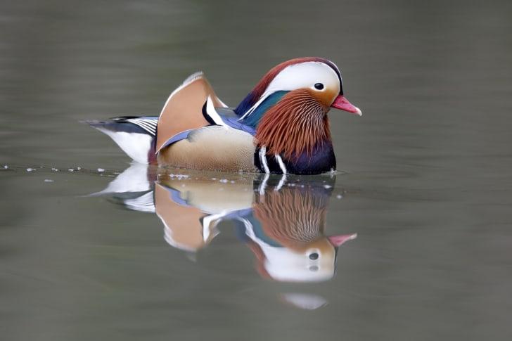 A mandarin duck swimming.