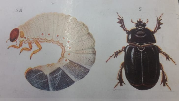 A drawing of the adult and larvae stage of Pericoptus truncatus, sourced from the book New Zealand Beetles and their Larvae by George Vernon Hudson.