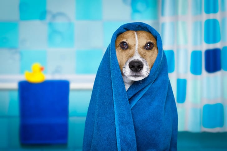 A dog poses while wrapped in a towel