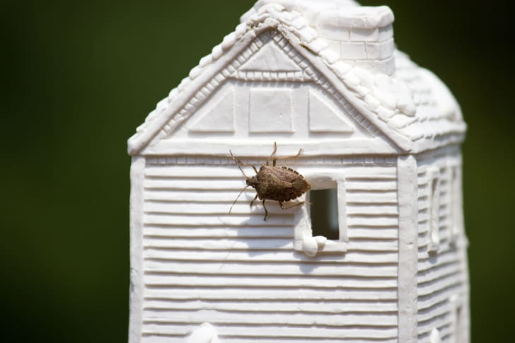 A stink bug on a model of white house