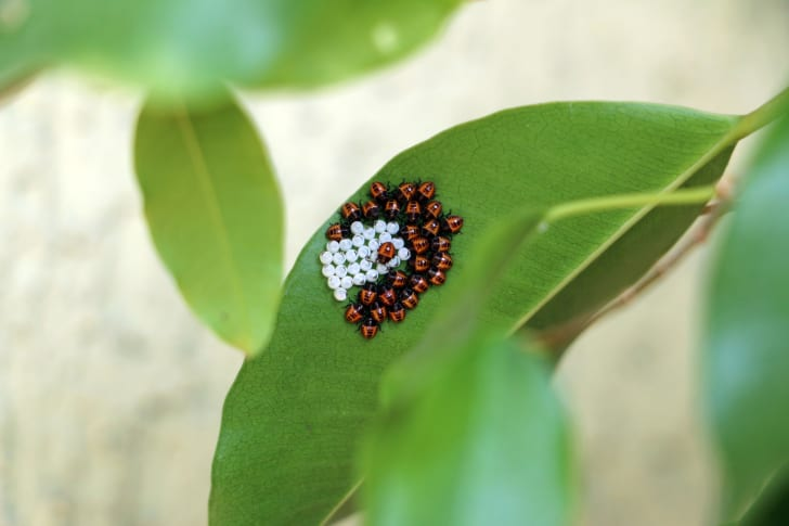 Brown marmorated stink bug eggs hatching on a leaf.