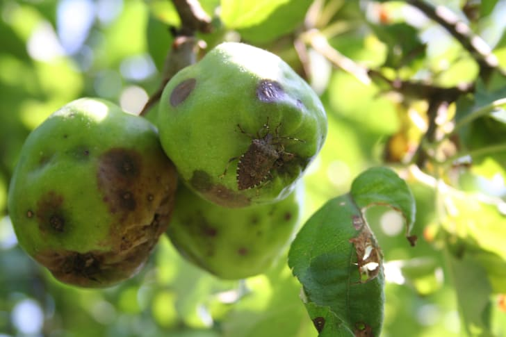 Brown marmorated stink bug feeding on an apple