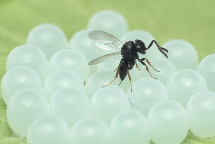 A samurai wasp lays an egg in a brown marmorated stink bug egg