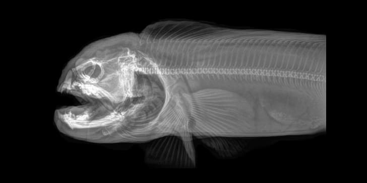 An X-ray image of a wolf eel courtesy of the Oregon Zoo