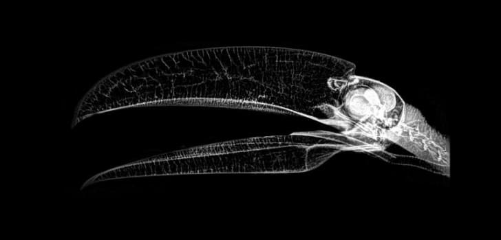 An X-ray image of a toco toucan courtesy of the Oregon Zoo