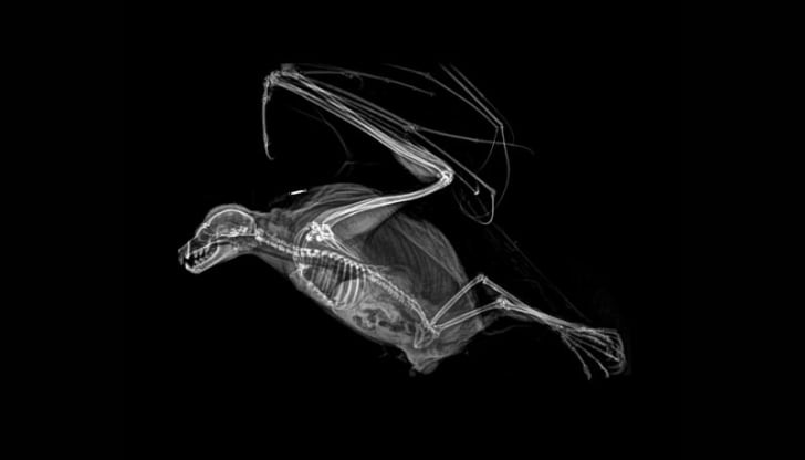 An X-ray image of a bat courtesy of the Oregon Zoo