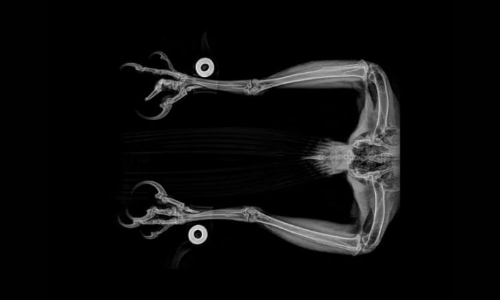 An X-ray image of a golden eagle courtesy of the Oregon Zoo