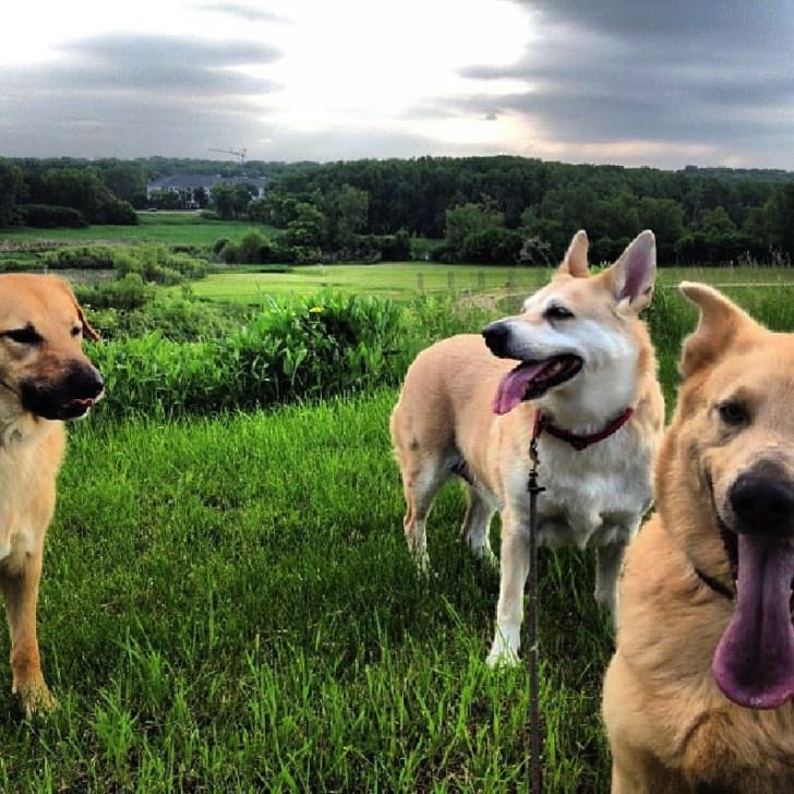 A group of Chinook dogs