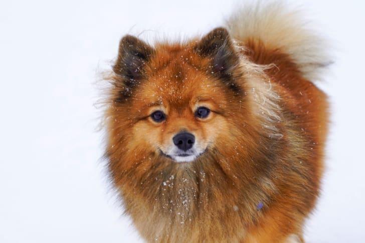 A Finnish Spitz dog looks into the camera