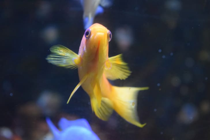 A yellow goldfish