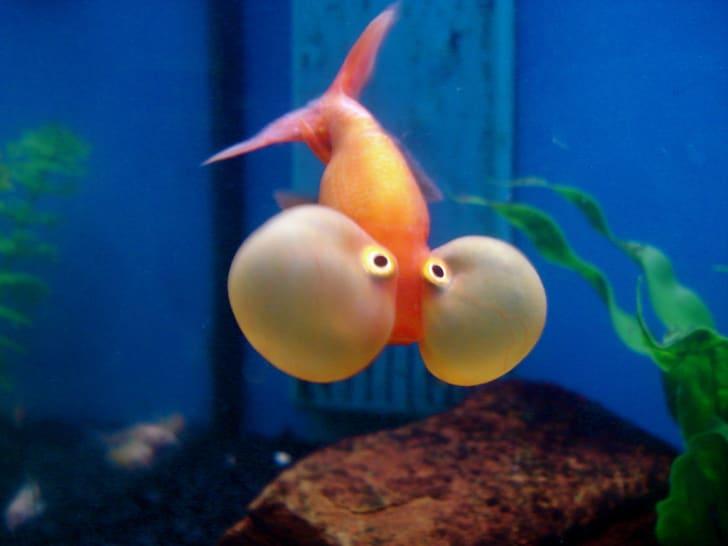 A bubble-eye goldfish.