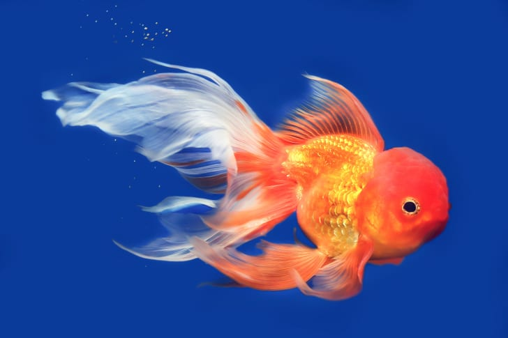 Pictures of goldfish