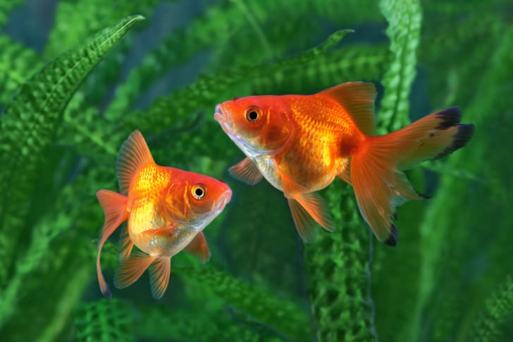 Goldfish next to green plants