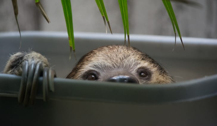 A two-toed sloth