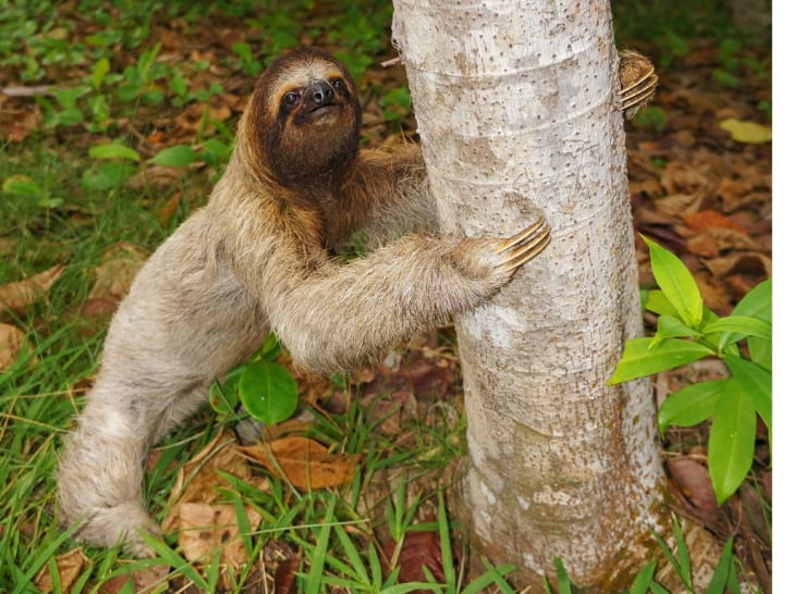 A sloth on the ground