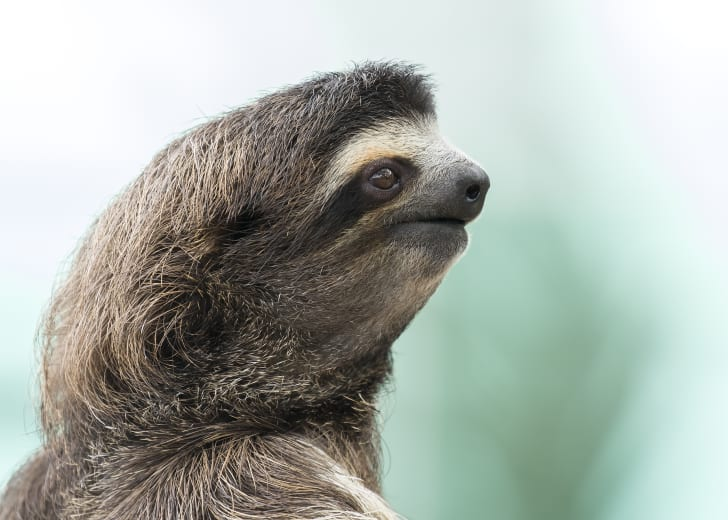 Close-up of a sloth