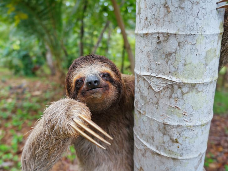A sloth peeks out from behind a tree