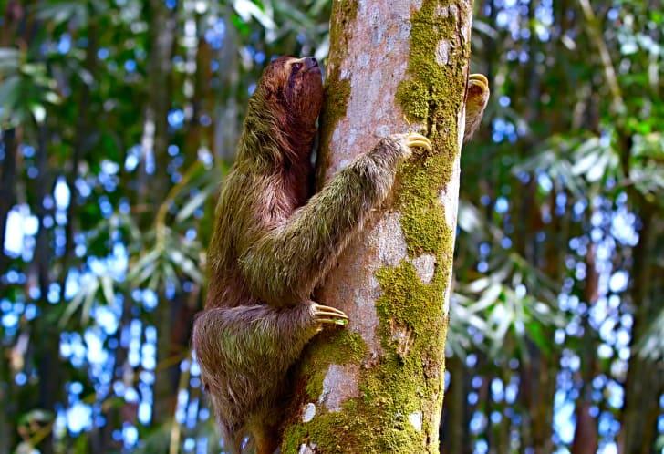 A sloth covered in algae
