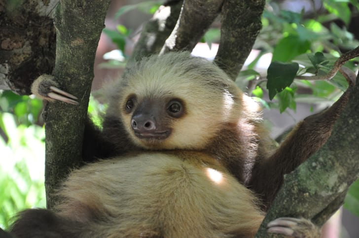 A baby two-toed sloth