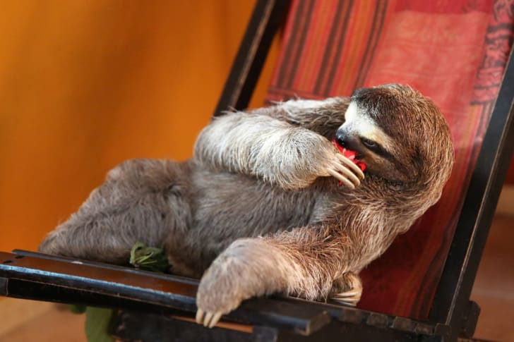 A sloth in a chair