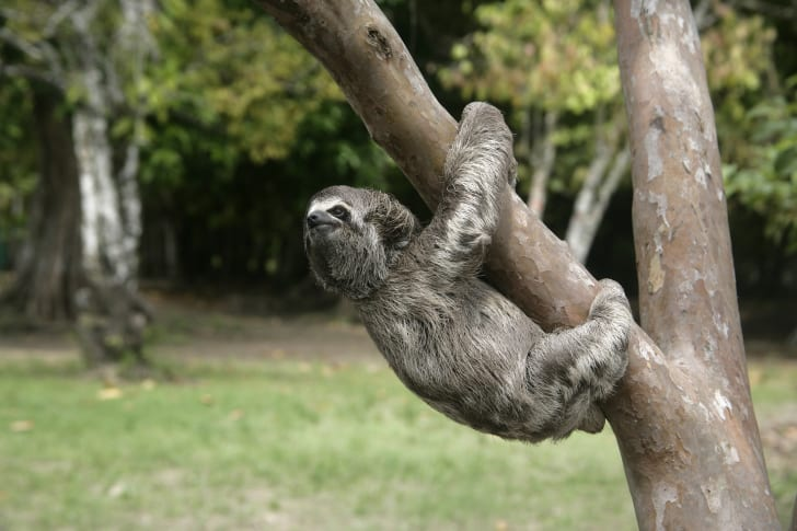 A sloth turns its head to look back