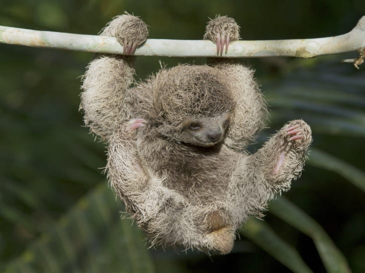 A baby sloth hangs from a branch