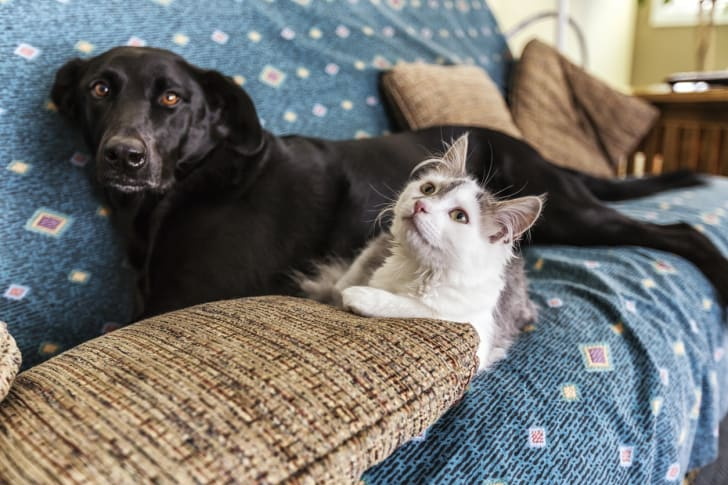 Black Labrador Retriever and a cat share a couch