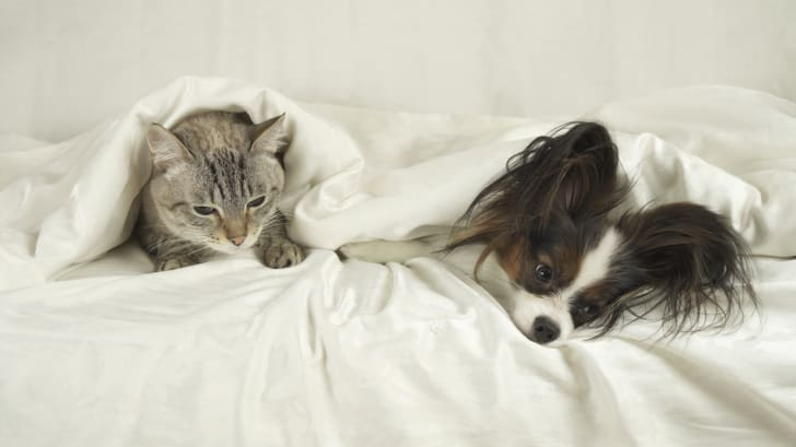 Papillon and a cat snuggle under a blanket