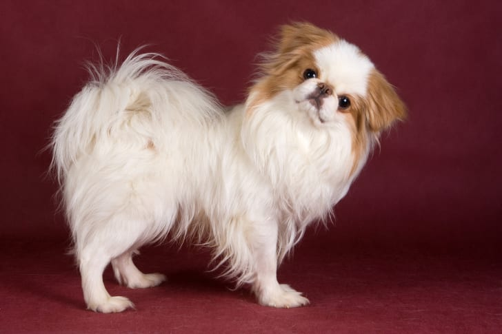 Japanese Chin against a burgundy background