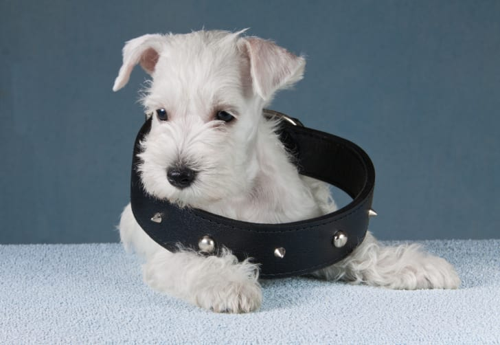 Puppy wearing a super large studded collar