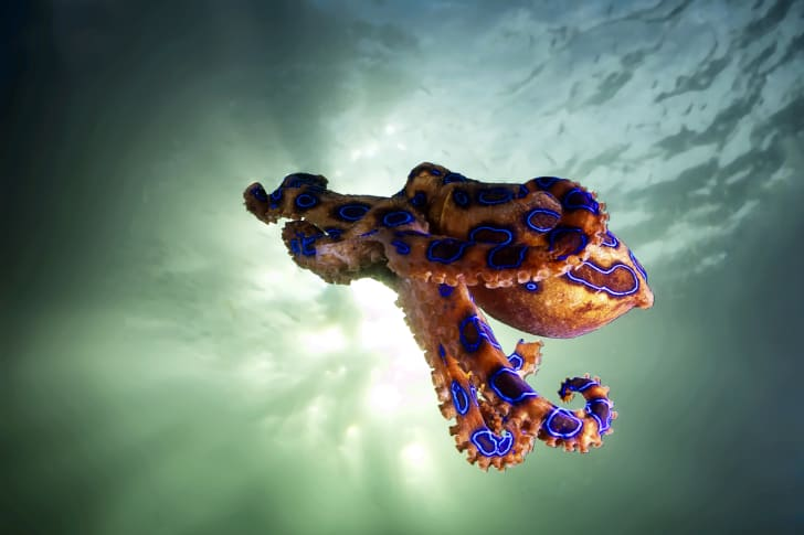 Octopus floating in the ocean.