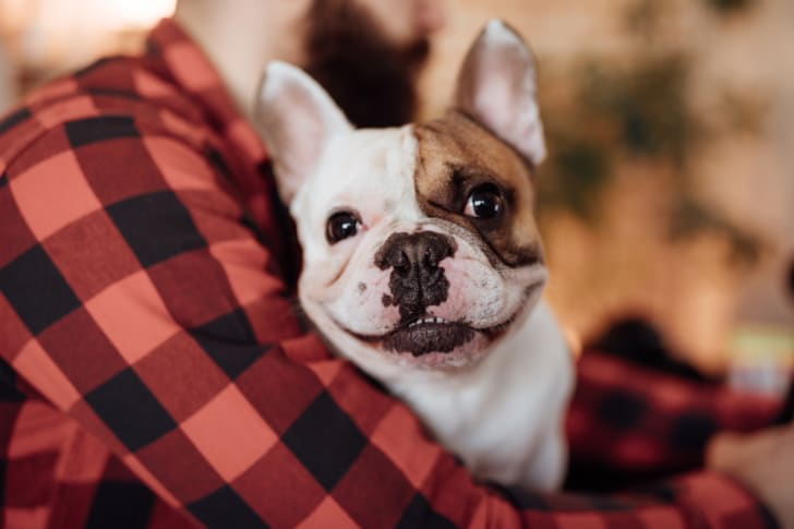 A French bulldog smiles at the camera