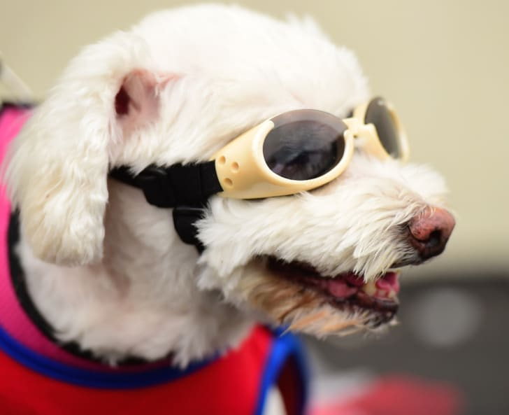 Dog in goggles