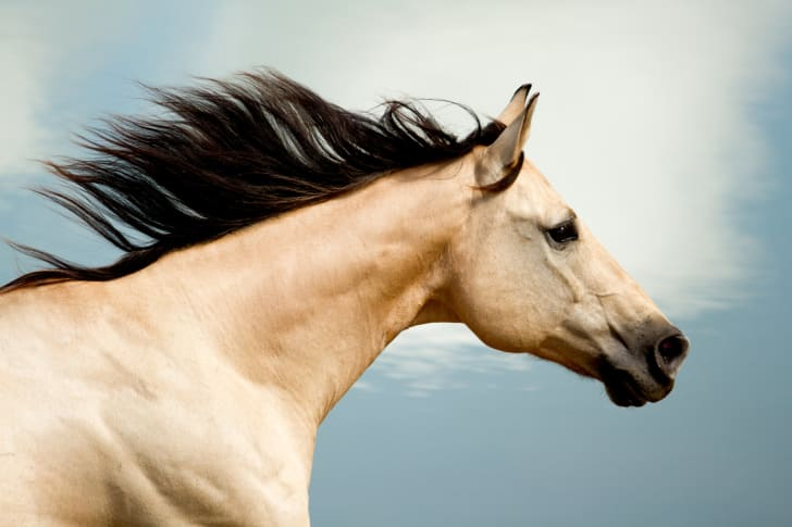 A tan-colored horse running with its mane flying out behind it.
