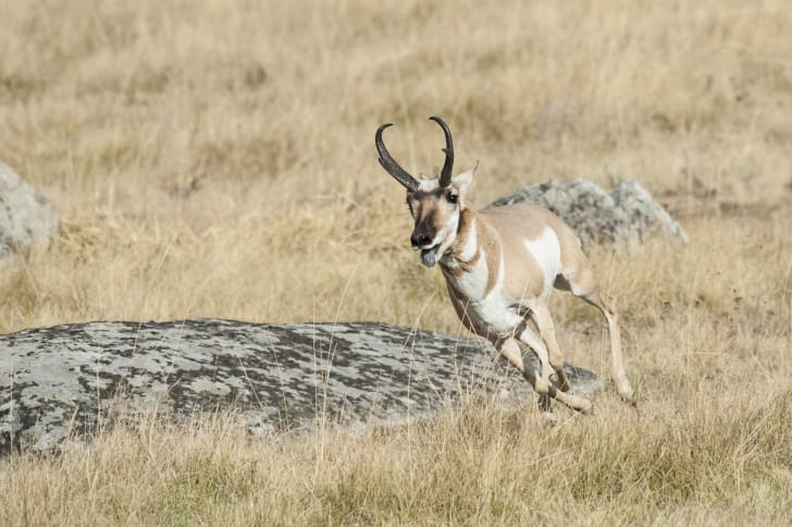A pronghorn running.