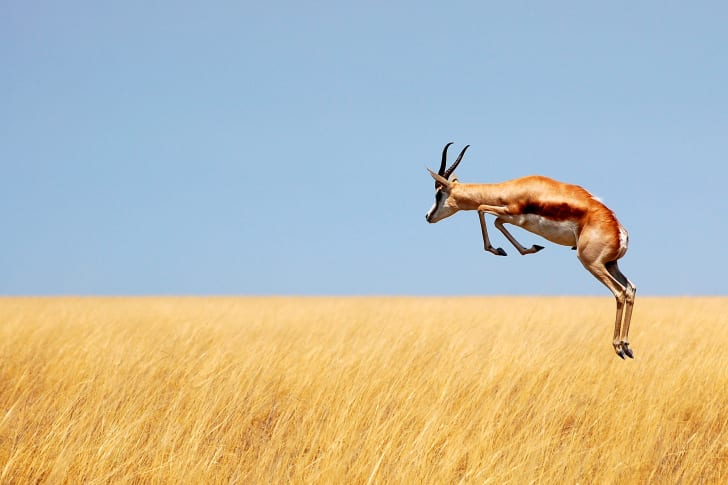 A springbok jumping high above yellow grass.